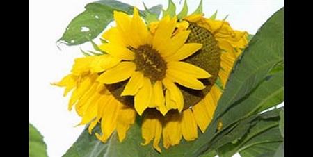 Fukushima-mutant-sunflower-8740-14078587