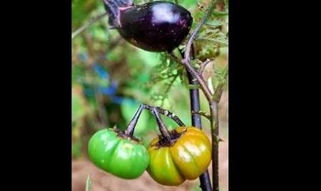 Fukushima-mutant-tomatos-3-9947-14078587