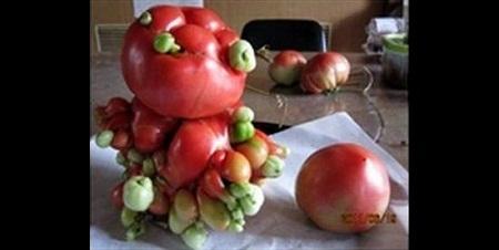 Fukushima-mutant-tomatos-3741-1407858720