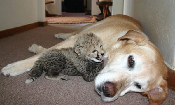 Chó Lisha là mẹ nuôi của hơn 30 con vật khác nhau bao gồm báo, hổ, lợn rừng, nhím và cả hà mã.