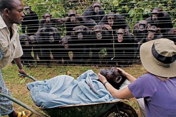 Tinh tinh Cindy rất được đồng loại trong trạm cứu hộ ở Cameroon yêu mến. Khi Cindy chết vì bệnh tim, đàn tinh tinh đã ôm nhau tự an ủi và dõi theo đồng bạn được đưa đi.