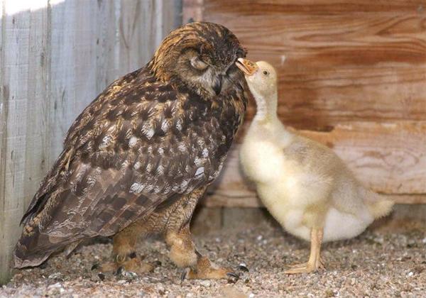 Cú Gandalf luôn cố gắng đẻ trứng để ấp con của mình, nhưng trứng không nở. Chủ của Gandalf đem đến cho nó một quả trứng ngỗng và Gandalf đã ấp, nuôi ngỗng con như con của chính mình.