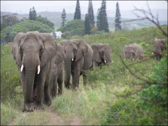 31 chú voi xếp hàng dài đi đến ngôi nhà của nhà bảo tồn nổi tiếng Lawrence Anthony vào ngày ông qua đời. Đàn voi này từng suýt bị giết chết vì bị coi là hung dữ, bao lực, Anthony đã thuyết phục chính quyền cho chúng một cơ hội sống. Cả đàn đã hành quân hai tiếng đồng hồ để cử hành nghi lễ đưa tiễn trang trọng dành cho ân nhân.