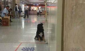 Chú cún chầu chực ngoài phòng cấp cứu vì lo cho chủ