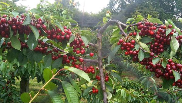 Cherries-2-7057-1411959041.jpg