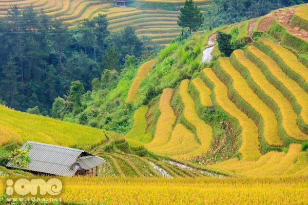 Lúa vàng đã chín, những thửa đã gặt và cả lúa non. Những dải lúa mềm mại đan xen với nhau tạo nên một dải màu mê hoặc mắt người nhìn.