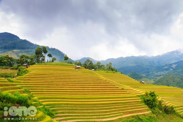Khắp huyện Mù Cang Chài, nhìn đâu cũng thấy những thửa ruộng bậc thang với lúa chín vàng óng.