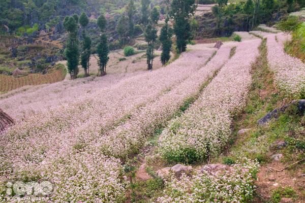 Dân phượt mê đắm cánh đồng hoa tam giác mạch