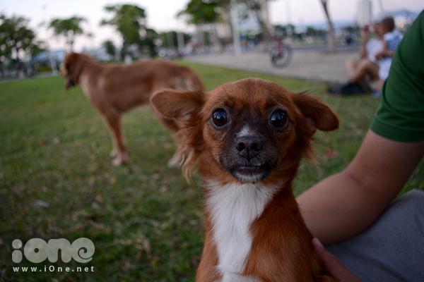 Chú chó Phốc lai Nhật của chị Diệp dạn dĩ hơn khi được ra ngoài thường xuyên. Việc mua, nuôi chó cưng có thể tốn kém một số tiền lớn với nhiều cô, cậu chủ.