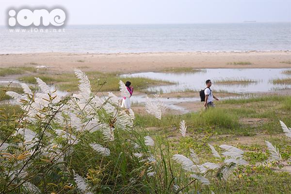 Những khóm cỏ lau trắng mọc lơ thơ bên bờ biển ở phường Thanh Bình, Hải Châu.