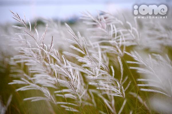 Vẻ đẹp dịu dàng làm say lòng người của những khóm cỏ lau