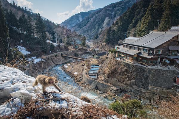 Hiện có khoảng 160 chú khỉ sống tại vườn quốc gia Joshinetsu Kogen, nơi công viên Jigokudani tọa lạc. Khi nhiệt độ hạ xuống dưới mức đóng băng, những chú khỉ tuyết Nhật Bản lũ lượt kéo nhau xuống thung lũng tắm suối nước nóng. Khi màn đêm buông xuống cũng là lúc các chú khỉ quay trở lại rừng để tìm nơi trú ẩn sau một ngày thư giãn tuyệt vời.