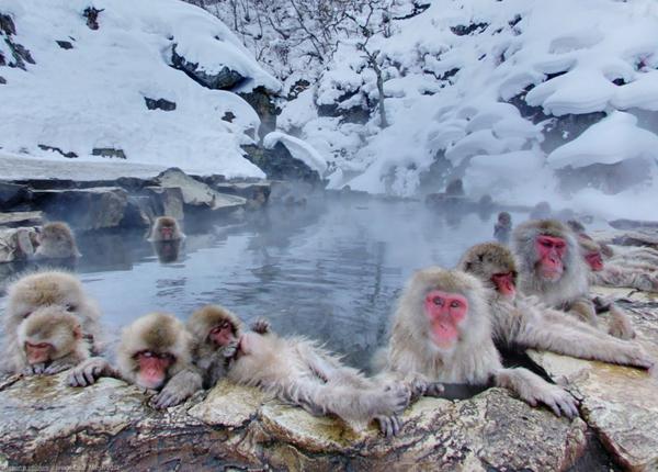 snow-monkey-japan-2-8140-1418271940.jpg