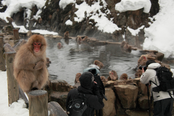 snow-monkey-japan-3-7563-1418271940.jpg