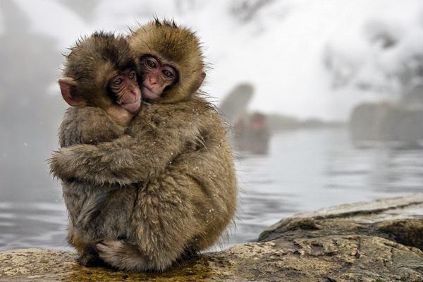 snow-monkey-japan-6-7337-1418271941.jpg