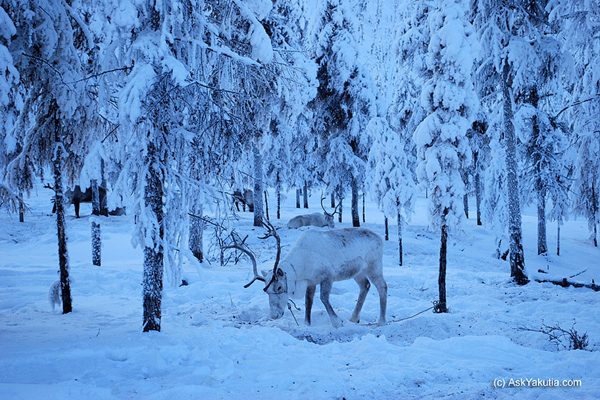 Tuy lạnh 'chết người' nhưng làng Oymyakon vẫn khá thu hút khách du lịch qua các dịch vụ trải nghiệm như tắm nước lạnh, săn tuần lộc, câu cá trên sông băng.