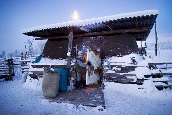 Những người nông dân địa phương cho bò vào chuồng để giữ ấm vào buổi tối.