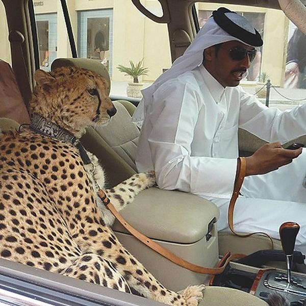 Ở thủ đô Dubai của các tiểu vương quốc A-rập thống nhất (UAE), cảnh các tay chơi vừa lái xe xịn, vừa nhắn tin, trên xe có một con thú cưng như chú báo gấm ngồi chễm trệ ở ghế phụ như thế này không hiếm gặp.