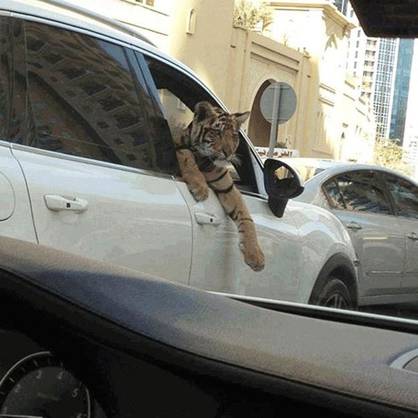 Một chú hổ thò đầu ra khỏi chiếc SUV trong lúc chờ đèn đỏ trên phố ở Dubai. Chi phí để nuôi dưỡng, thuần hóa những con thú dữ như hổ, báo cực kỳ tốn kém, chỉ giới siêu giàu mới kham nổi.