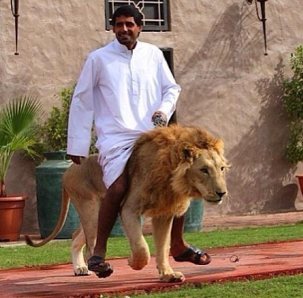 Cưỡi sư tử đực dạo quanh nhà, thú chơi của một vị hoàng thân ở Dubai. Những vật nuôi hung dữ như vậy thường phải có huấn luyện viên riêng để kiểm soát hành vi của chúng.