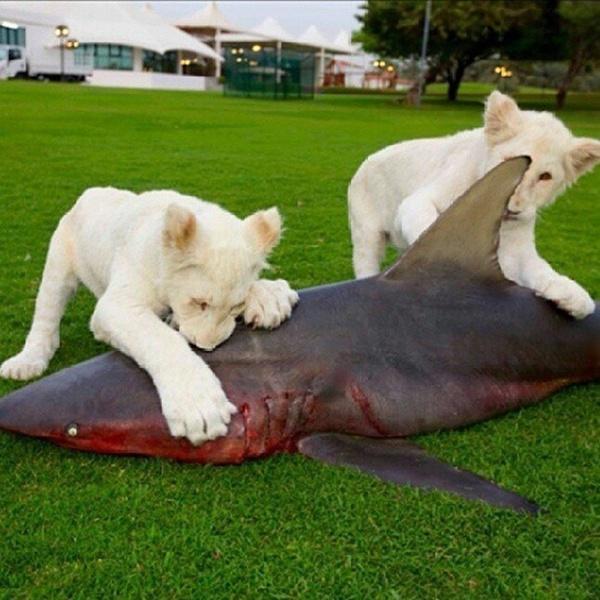 Hai con sư tử trắng (thuộc loài rất hiếm) được nuôi dưỡng từ nhỏ được cho ăn bằng thịt cá mập tươi.