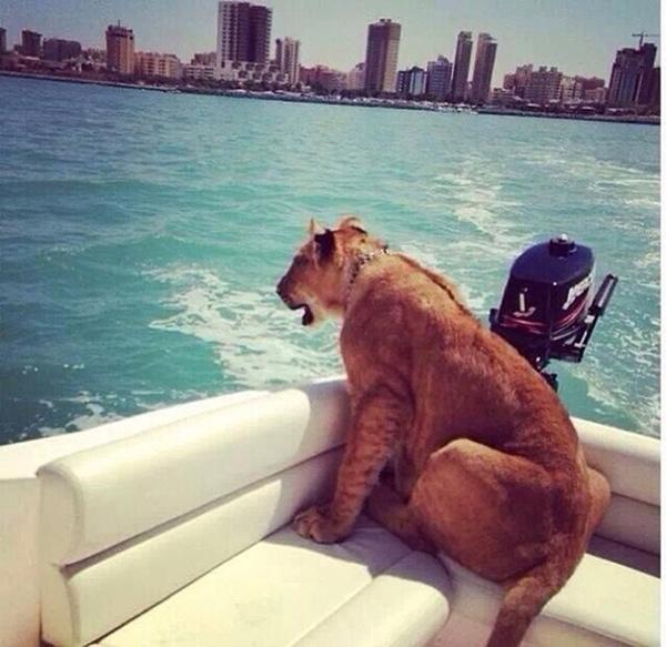 Thú dữ như sư tử cũng được lên xuồng cao tốc ra mặt vịnh ngắm cảnh.