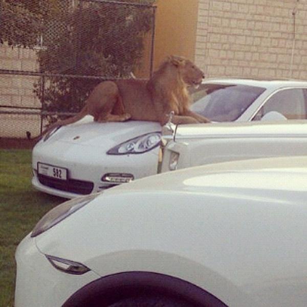 Sư tử là loài thú cưng được ưa chuộng hơn cả trong các loài thú dữ được các ông chủ Ả-rập chọn nuôi.