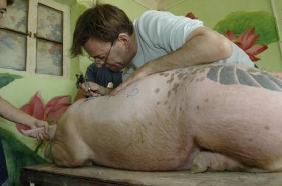 tattooed-pigs4-550x364-3987-1427336813.j