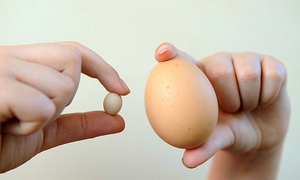 Quả trứng gà nhỏ nhất hành tinh