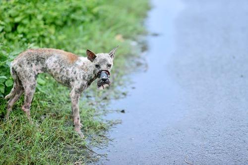 Tình trạng đau thương của chú chó khi mới được phát hiện.