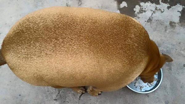 Độ béo khó tin của chú cún.