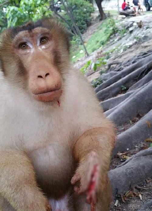 Chú khỉ với bàn tay bị toét ra vì pháo.
