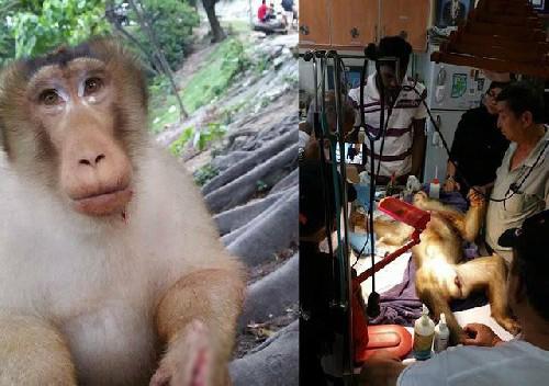 Dù đã được cứu kịp thời, song chú khỉ không qua khỏi.