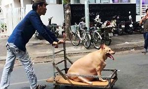 Chú chó 'béo như lợn' phải dùng xe đẩy giữa Sài Gòn