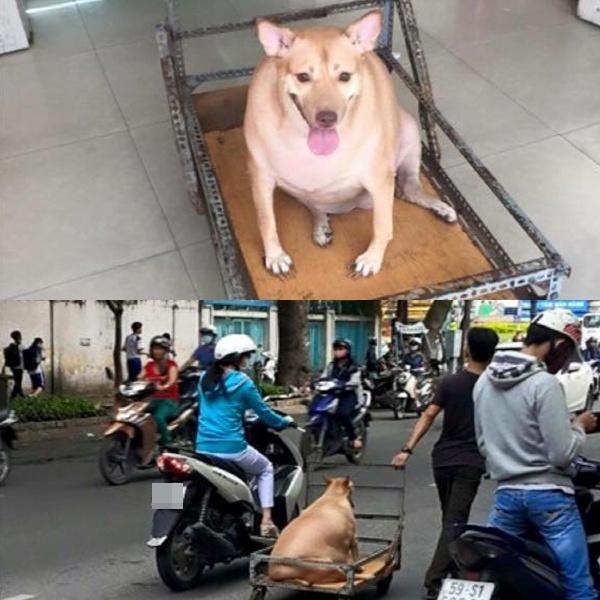 Chú cún quá mập phải dùng xe đẩy giữa đường phố.