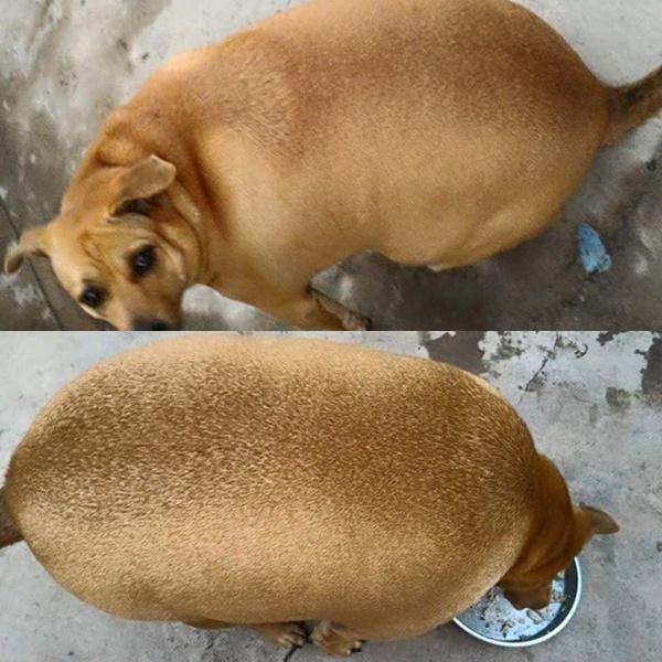 Chú cún bị ví như hột mít vì quá mập ở Hà Nội. Ảnh: Bùi Vương Hà My.