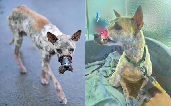 Chú cún Lucky đã mập và khỏe mạnh hơn trông thấy so với thời điểm 40 ngày trước.