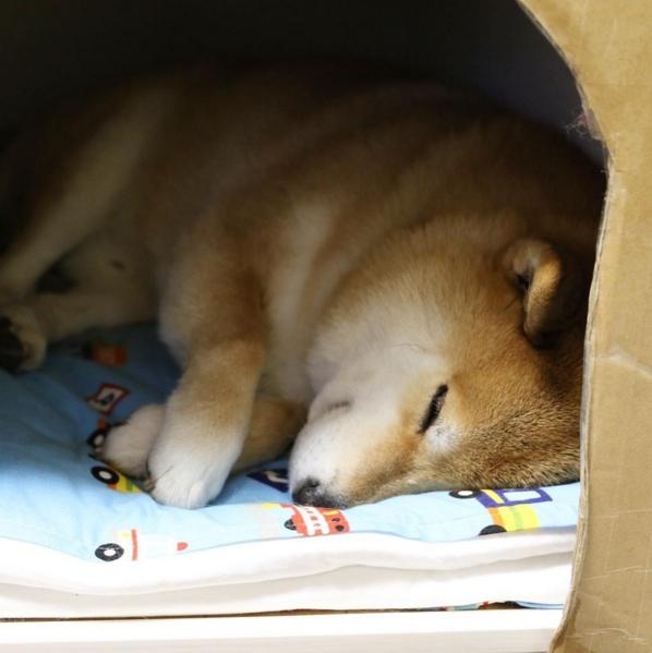 Marutaro là một trong những chú chó nổi tiếng nhất tại Nhật Bản. Mới đây, cộng đồng fan của chú chó này tại xứ hoa anh đào đã kỷ niệm