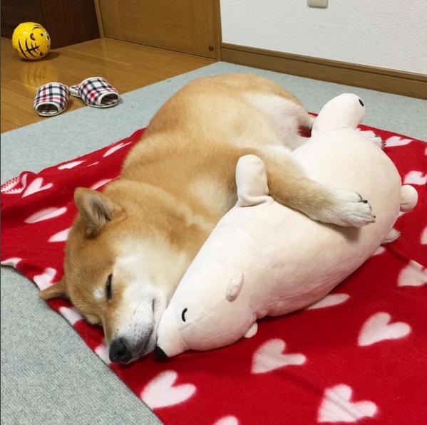 Nhiều người so sánh chú chó này với Shironeko, một chú mèo siêu lười khác ở Nhật Bản cũng rất nổi tiếng.