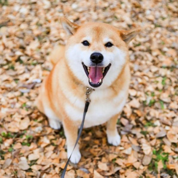 """Nụ cười đáng yêu """"vô đối"""" của chú chó được hâm mộ nhất Nhật Bản."""