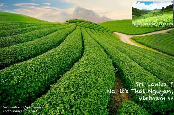 Rừng chè Thái Nguyên đẹp không kém