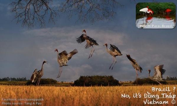 Những đàn hạc này vẫn đang sải cánh ở Đồng Tháp, chứ không chỉ Brazil xa xôi.