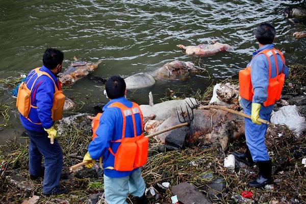 Năm 2013, công nhân vệ sinh Trung Quốc vớt hơn 2.000 con lợn chết bị vứt từ thượng nguồn sông Hoàng Phố trôi dạt xuống lưu vực sông gần Thượng Hải. Ảnh: Reuters.