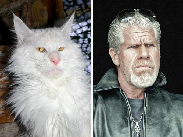 Lông trắng xù, khuôn mặt cool ngầu và ánh mắt biết nói, đây chính là phiên bản mèo hoàn hảo của nhân vậtClay Morrow (Sons of Anarchy)