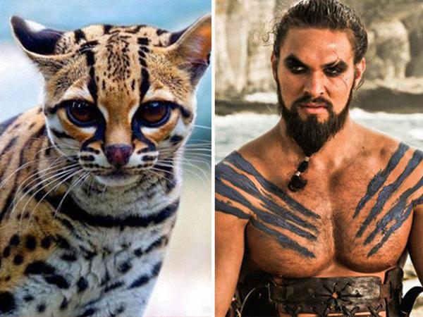 Thêm 1 thành viên nữa của Game of Thrones được lên màn ảnh phiên bản mèo.Khal Drogo