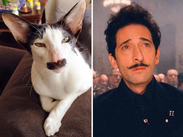 Tư chất diễn viên của chú mèo cưng này thể hiện bởi ngoại hình cực kỳ điện ảnh. Khôn mặt V-line và bộ ria mép quý ông khiến chú ta giống hệt ngôi saoAdrien Brody