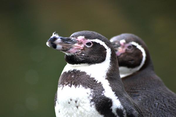 Loài chim cánh cụt Humboldt chỉ còn 2.000 con.