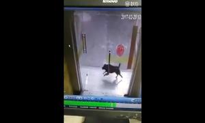 Mải truy đuổi mèo, chó đâm đầu vào cửa kính