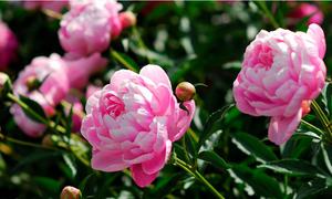 Những loại cây và hoa giúp phát tài phát lộc năm 2018 theo phong thủy