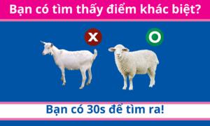 30 giây bạn có tìm ra điểm khác biệt giữa bày cừu